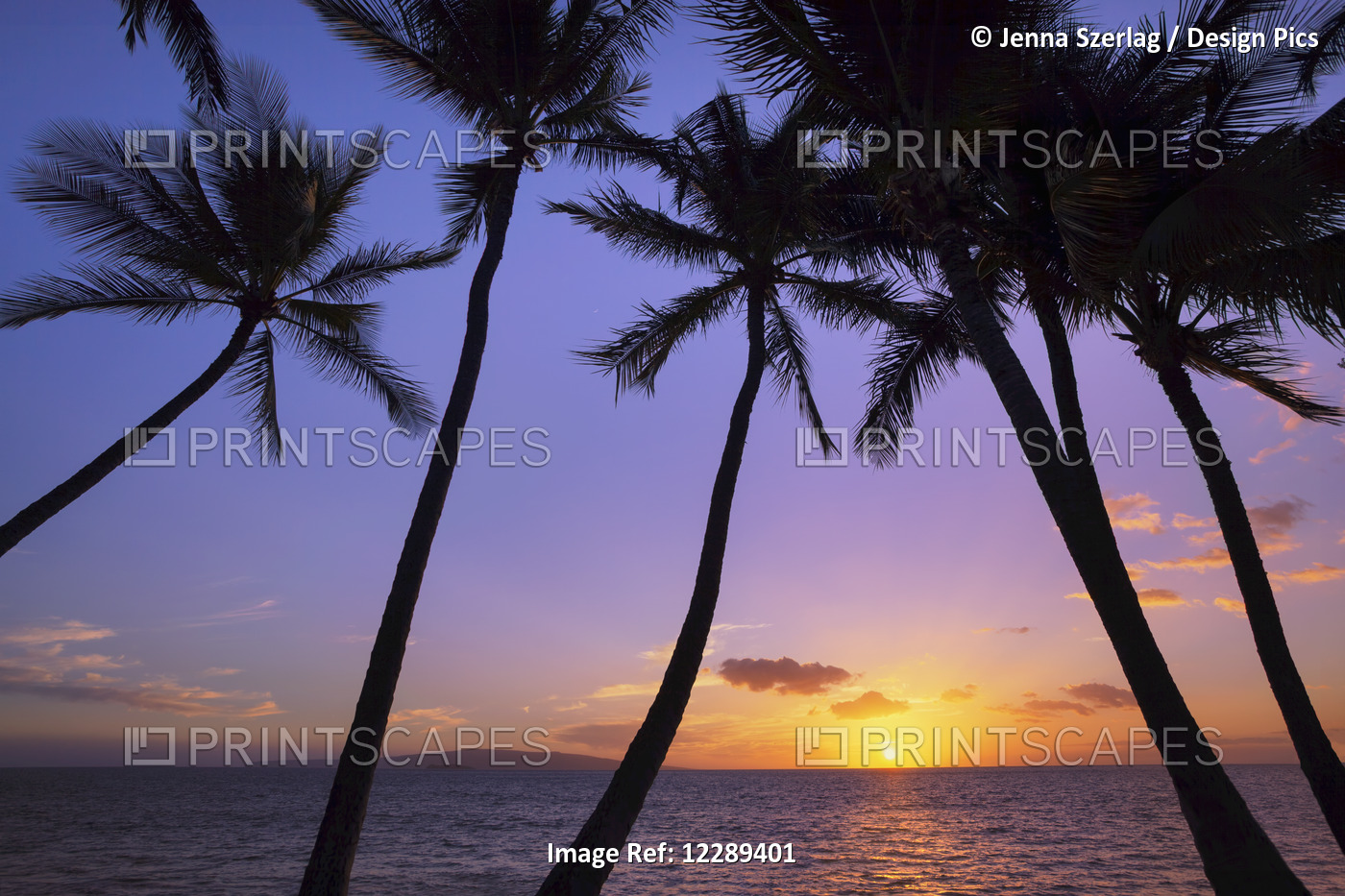 Silhouetted Palm Trees At Sunset; Wailea, Maui, Hawaii, United States Of America